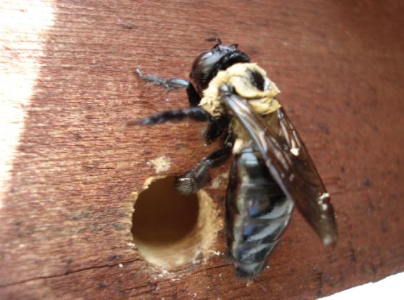 carpenter bee new1
