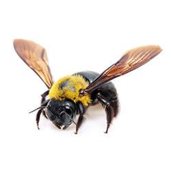 carpenter-bee-250