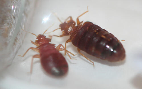 14_Bed Bugs