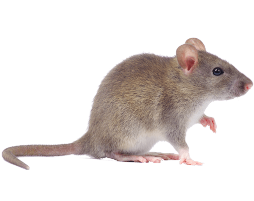 pest-library-mouse