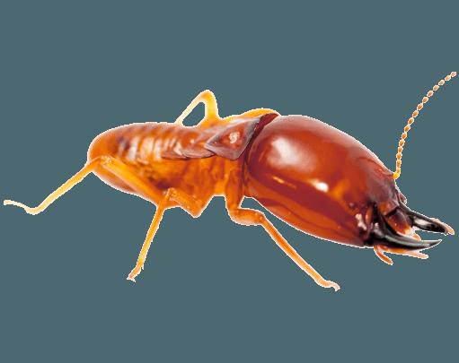 pest-library-termite