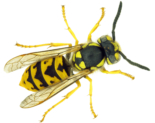pest-library-wasp