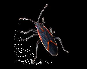 pest-box-elder-300x238